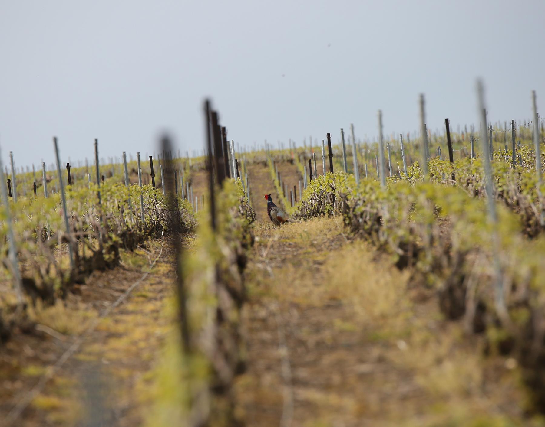La vie au Domaine Roger Lustig - Un faisan dans les vignes