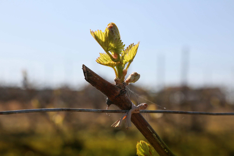 La vie au Domaine Roger Lustig - Travail de la vigne