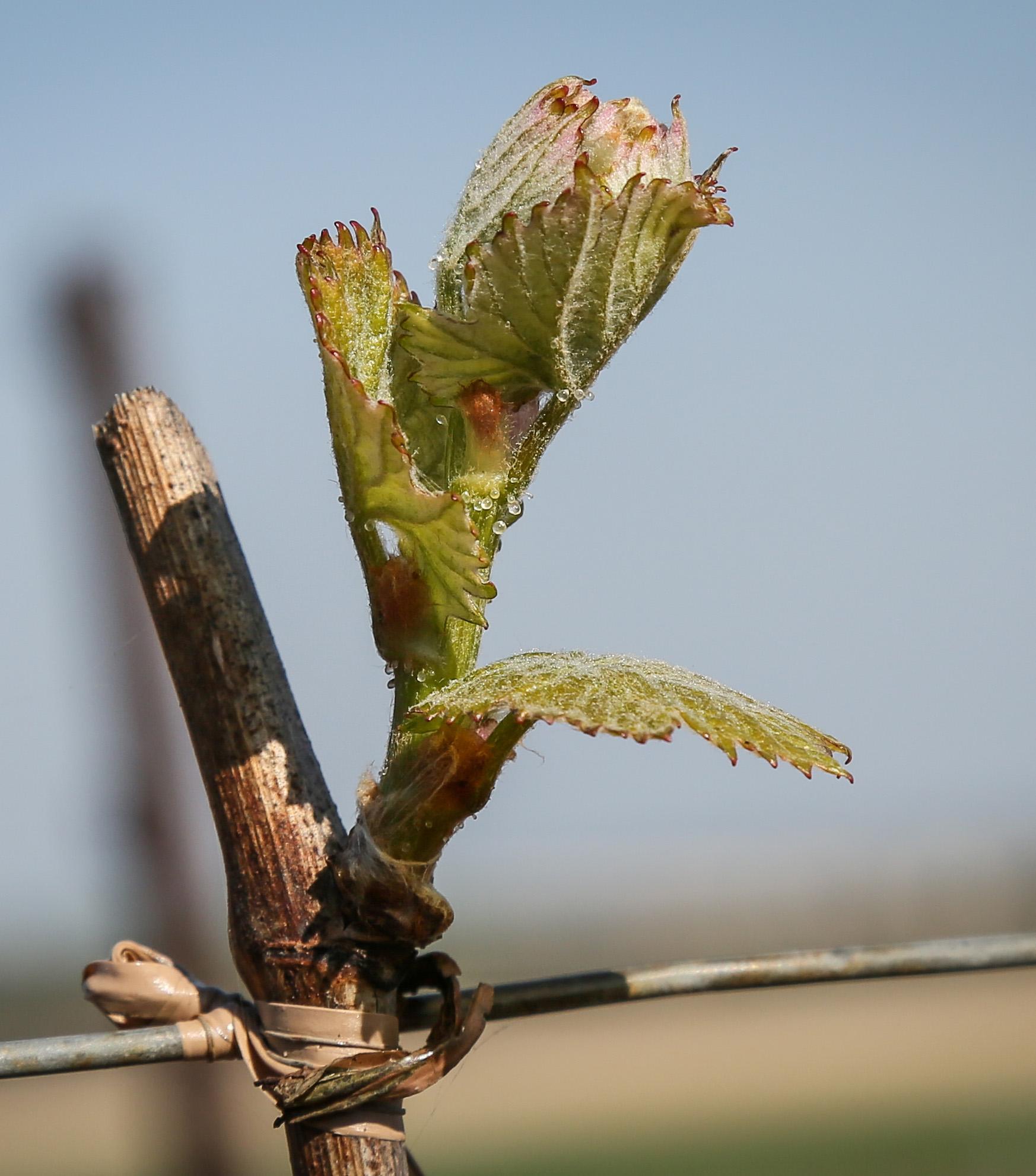 La vie au Domaine Roger Lustig - Débourrement - Bourgeons de vigne