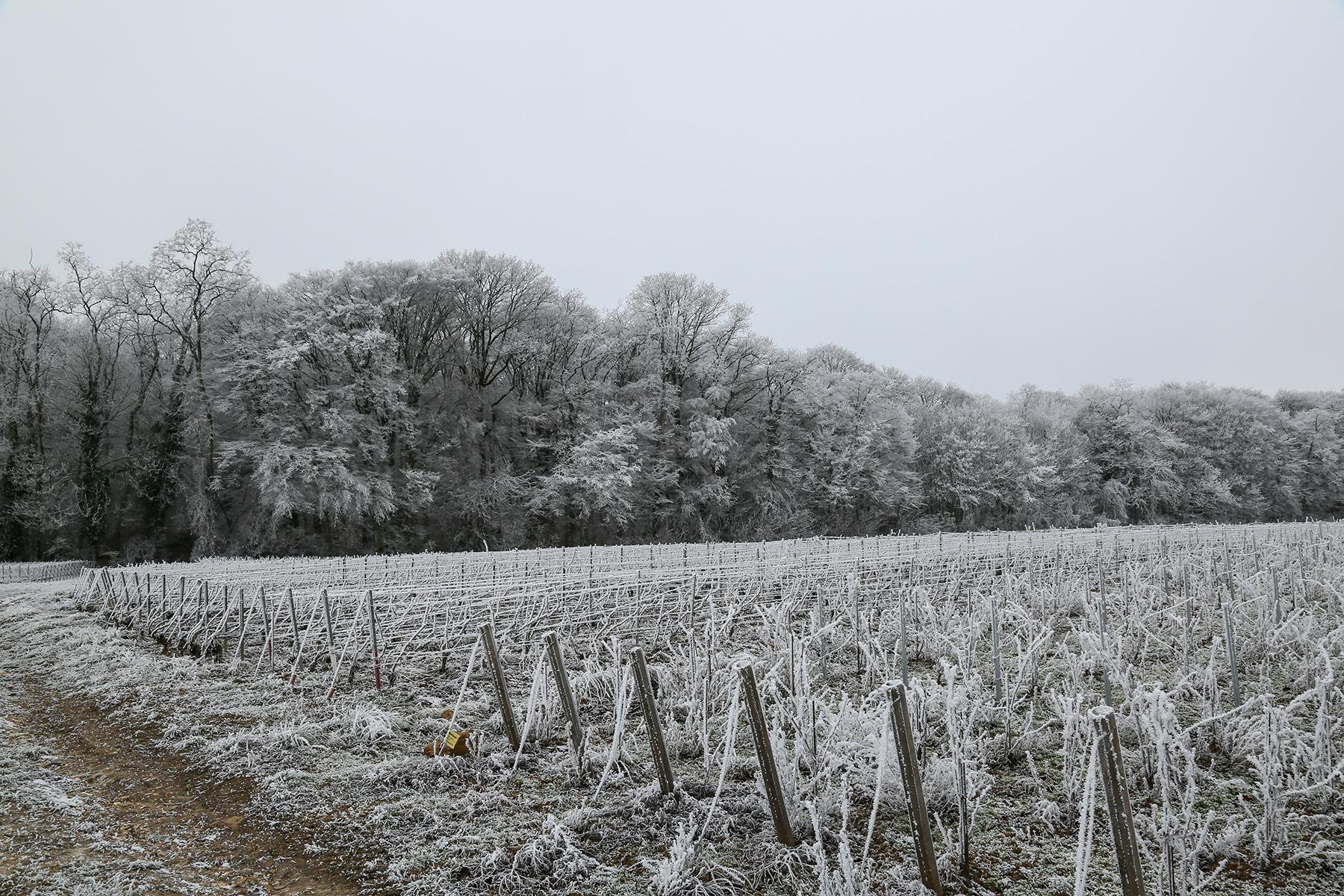 La vie au Domaine Roger Lustig - L'hiver sur les ceps