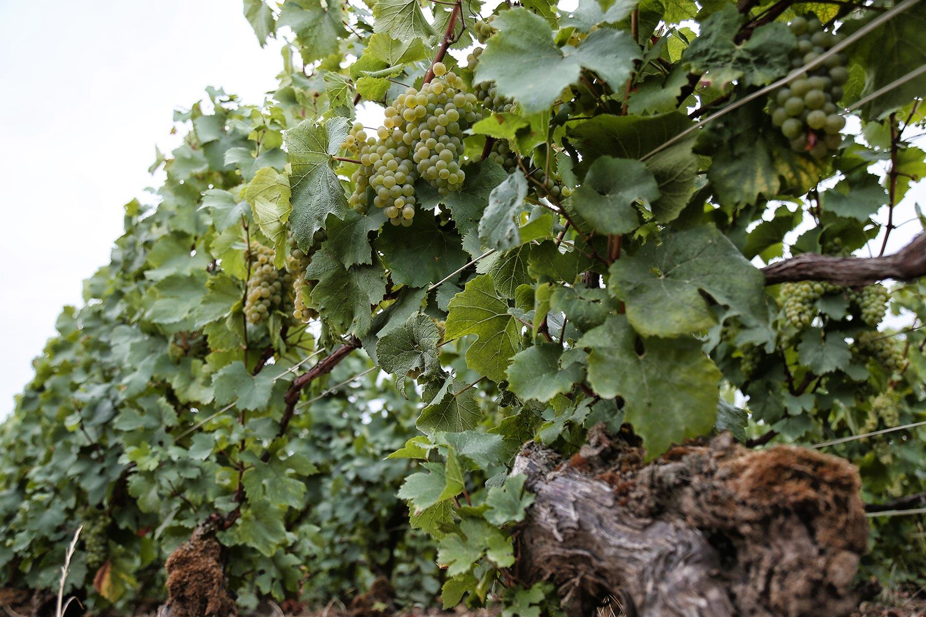 La vie au Domaine Roger Lustig - En-bas-de-la-vigne